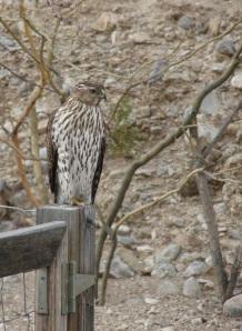 hawk on fence post