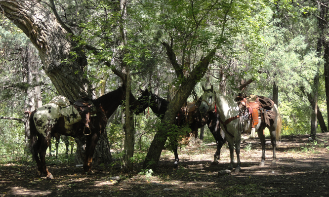 Saddled horses tied to trees