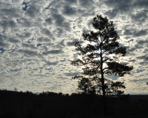 Ponderosa pine silhouetted against early morning cloudy sky