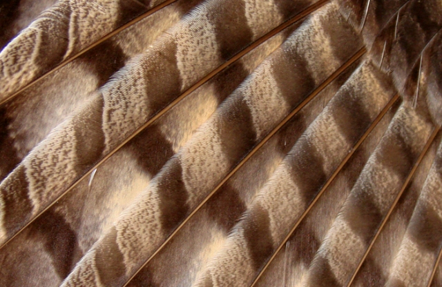 close up photo of owl wing feathers