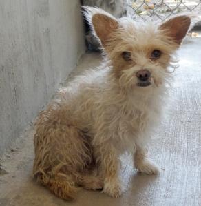 shelter poodle chi 1