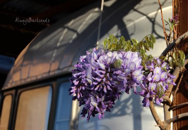 wisteria 2