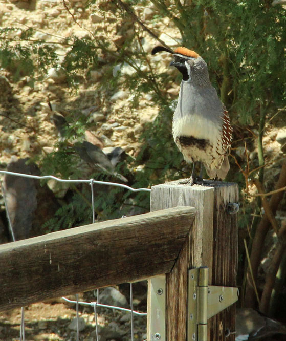 This year's unmated Gambel's Quail looking for a mate.