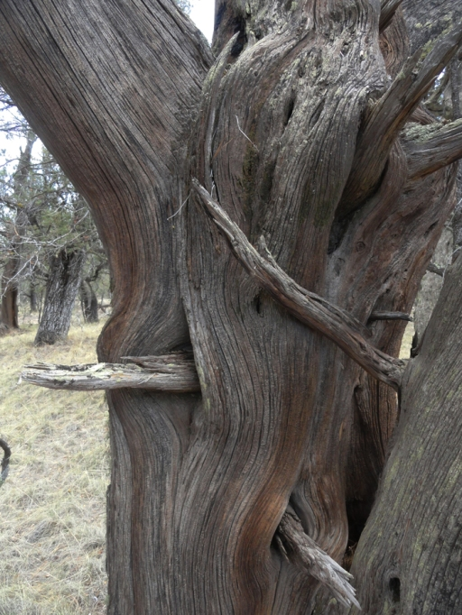 juniper wood 1