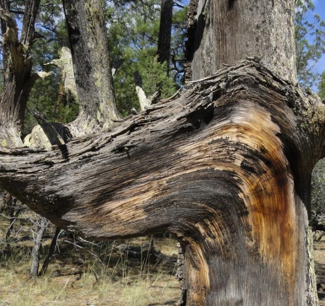 juniper wood 2