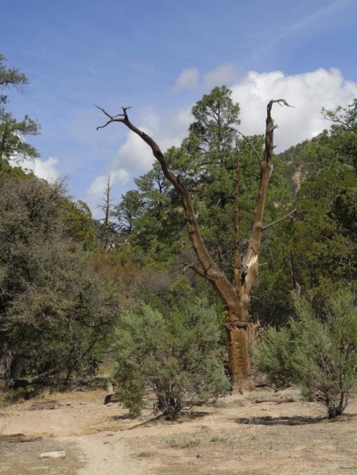 juniper Y