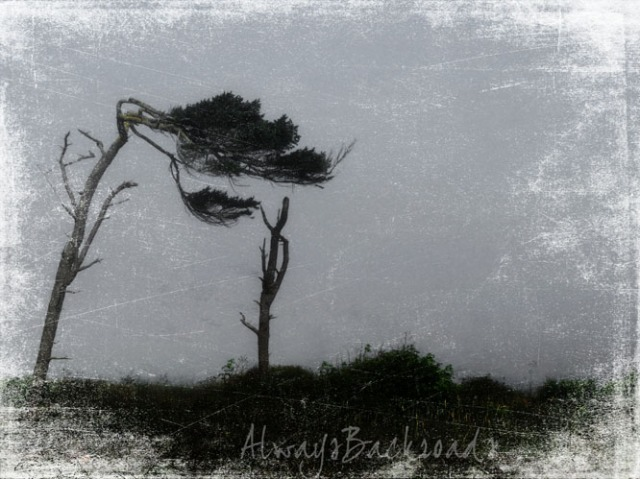 cypress in fog 1
