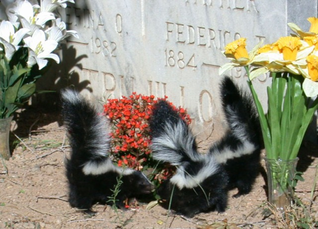 skunks on grave