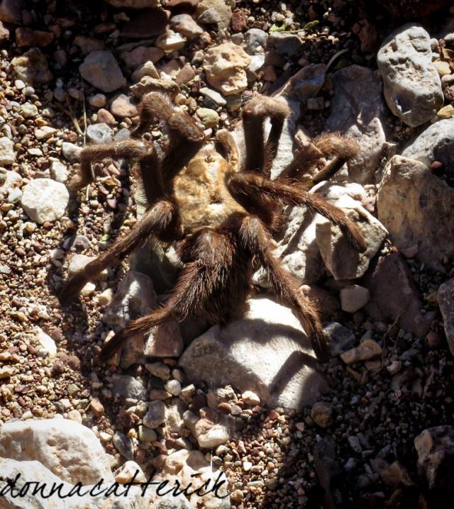 mc tarantula