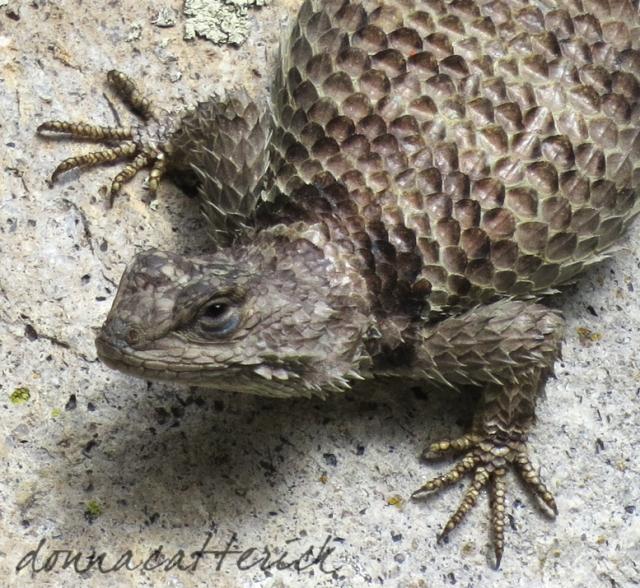 spiny crevice lizard close