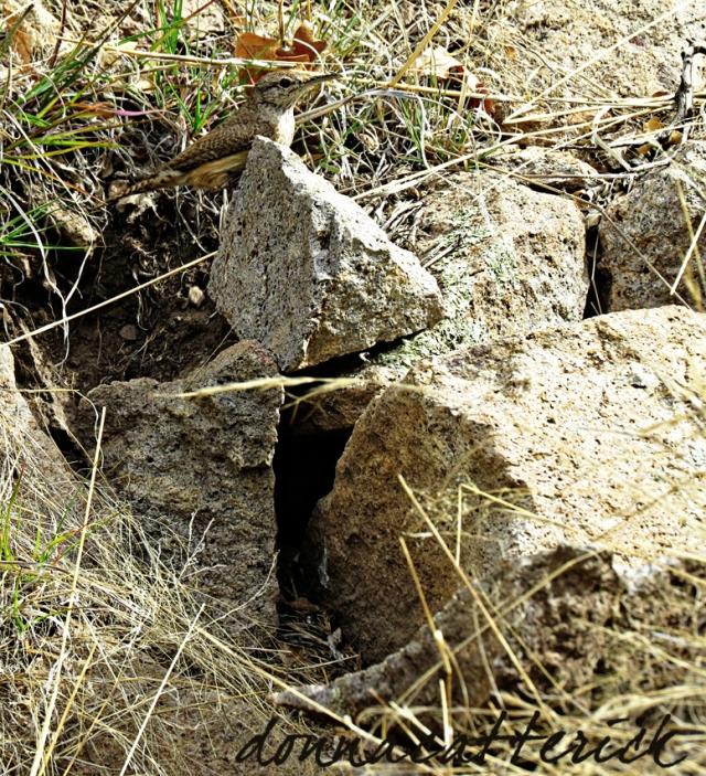 rock wren and nest