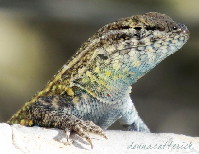 rock lizard 3