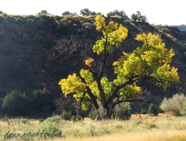 yellow cottonwood