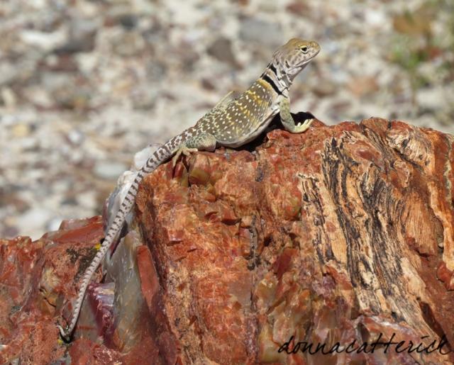lizard petrified forest