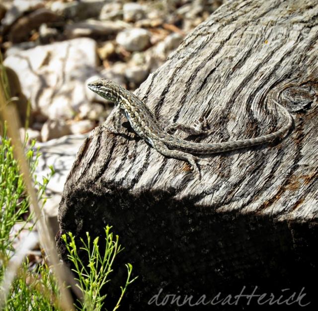 lizard lines