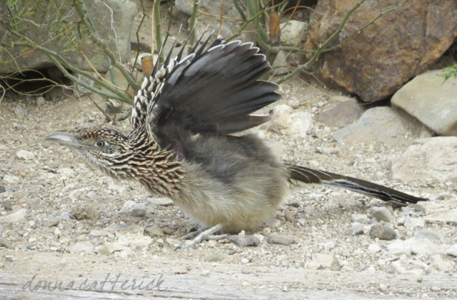 roadrunner wings
