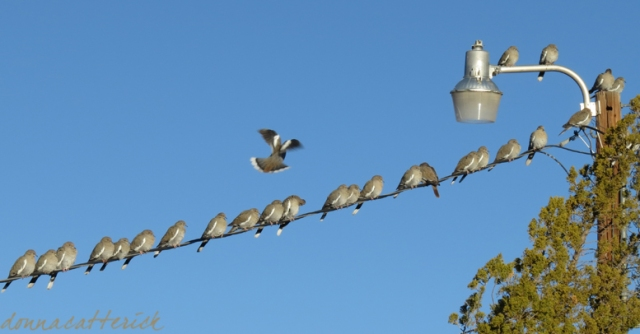 white wing doves