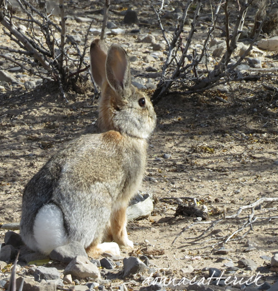 cottontail hueco