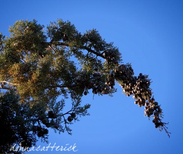 top heavy juniper