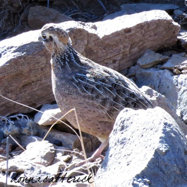 mont quail f