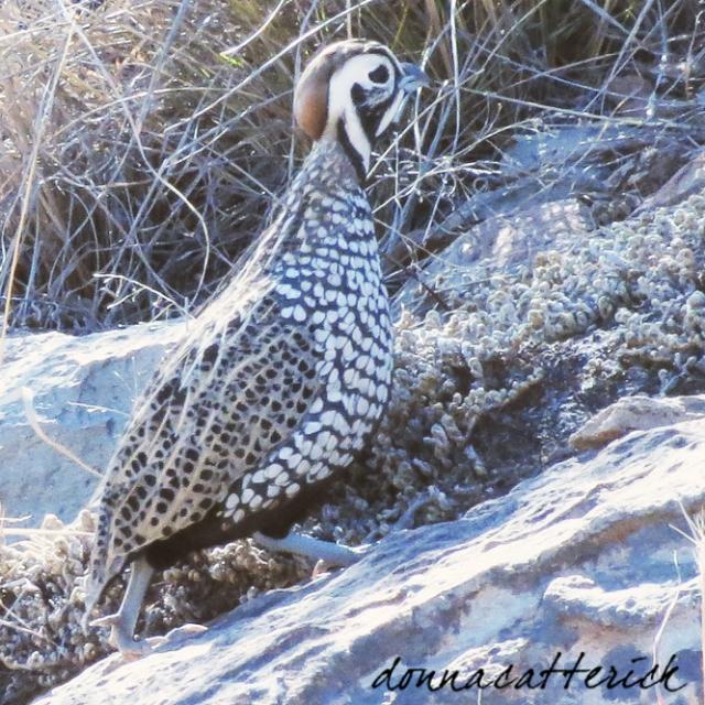 mont quail m