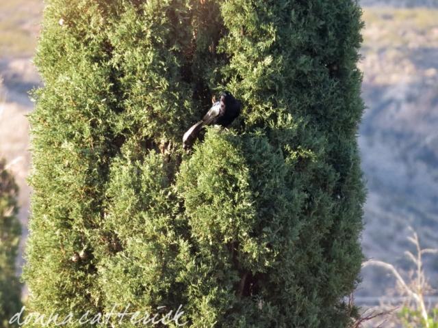 grackle cypress