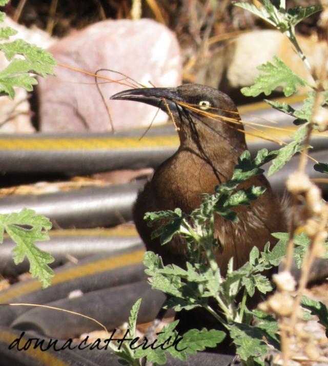 grackle nesting materials