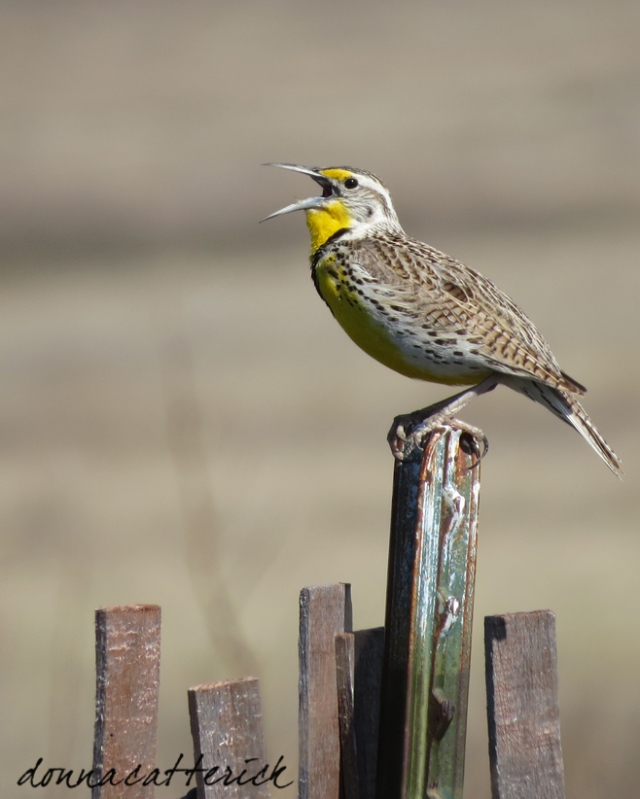 meadowlark song