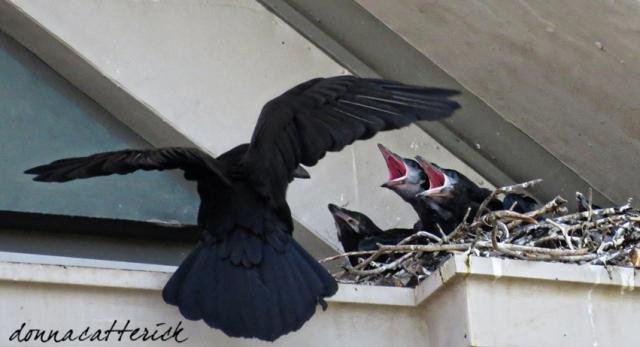 raven chicks 1