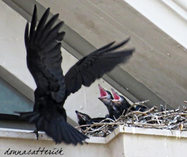 raven chicks 2