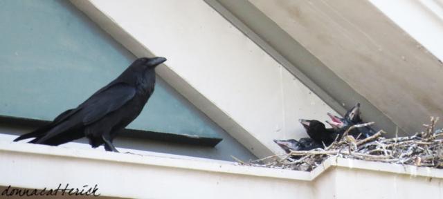 raven chicks 3