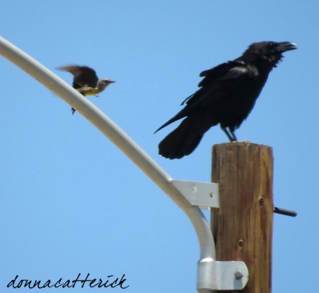 kingbird raven 1