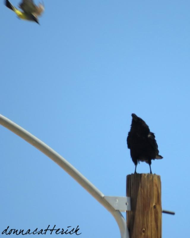 kingbird raven 2