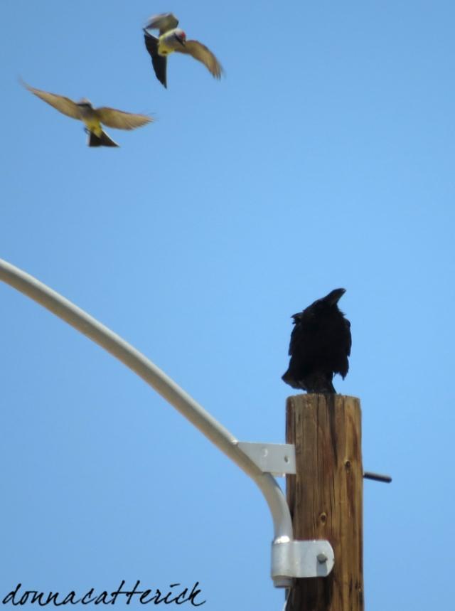 kingbird raven 3
