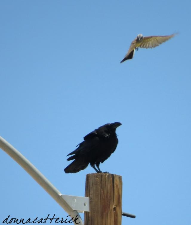 kingbird raven 4