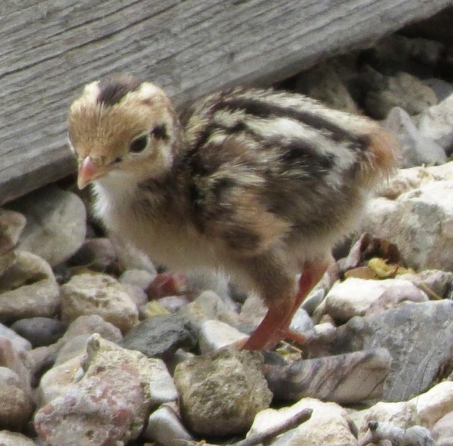 pro quail chick