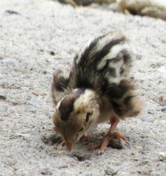 quail chick wings