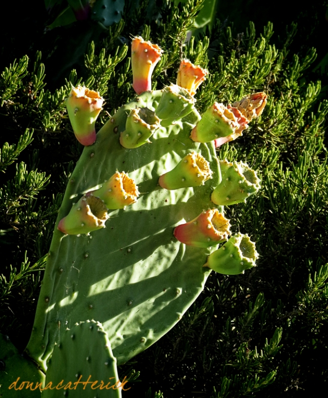prickly pear blossom fruit