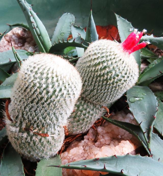round cactus 2