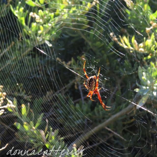 sage-spider