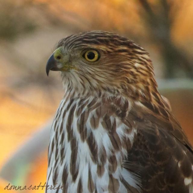 hawk-evening