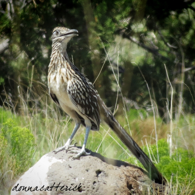 roadrunner-on-rock