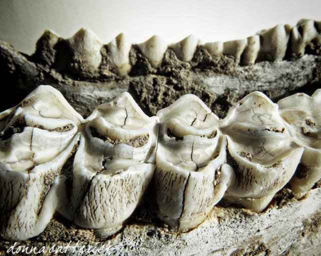 deer-teeth