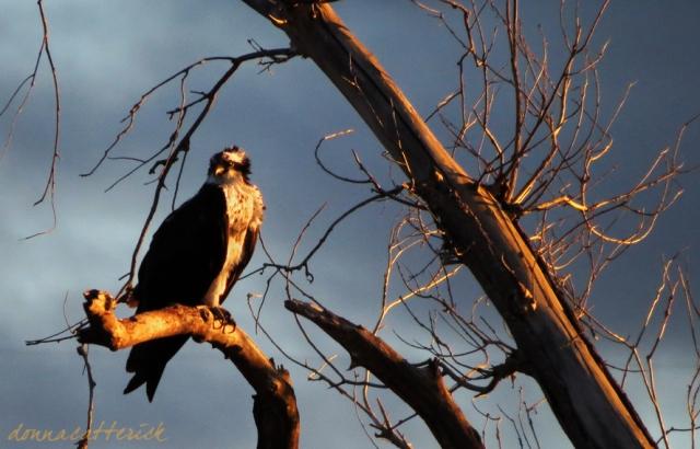 osprey-sunset